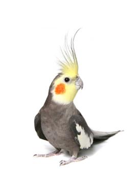Păsări - Nimfă